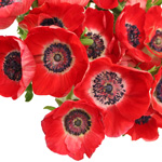 Anemone Red Flower