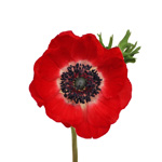 Red Anemone Flower October to April Delivery