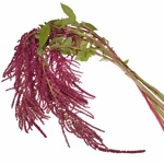 Red Hanging Amaranthus Fresh Autumn Greens