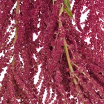 Fresh Greens Red Amaranthus Hanging