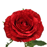 Red Rose Red Intuition