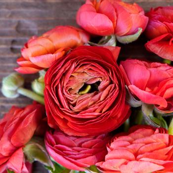 Red Ranunculus Wholesale Flower Upclose