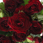 Red Velvet Romance Spray Roses