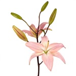 Asiatic Lily Flower Light Pink