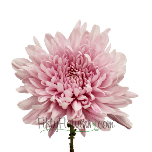 Football Mum Lavender Pink Flower