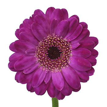 Purple Paradise Mini Gerbera Daisies