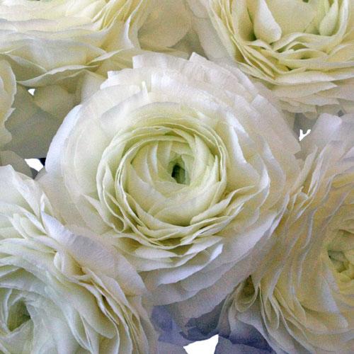 White Designer Japanese Ranunculus Flower