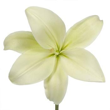 White Hybrid Lily