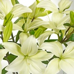 White Hybrid Lily Flower