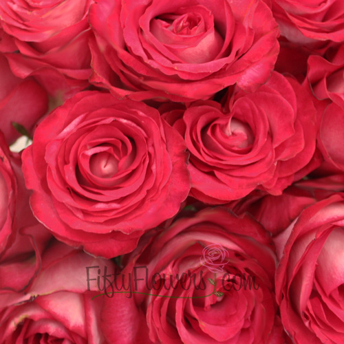 Riviera Hot Pink n Cream Bulk Rose