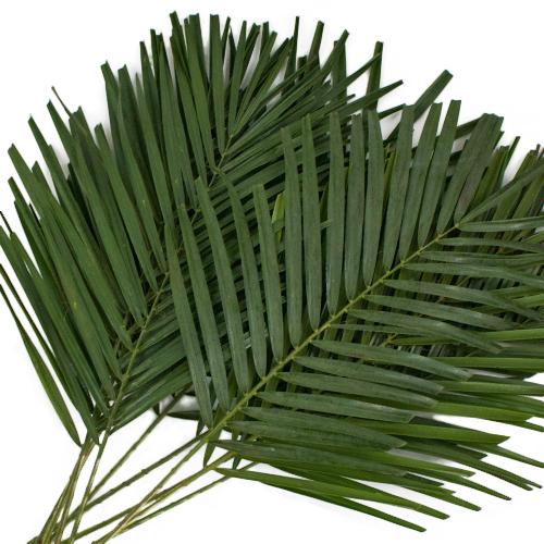 Robellini Phoenix Green Palms