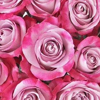 Pink Pixie Standard Rose