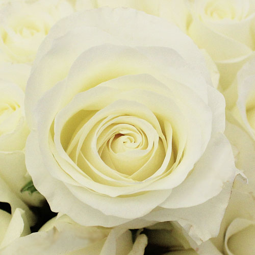 Akito White Bulk Rose