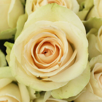 Clear Ocean Peachy Cream Rose