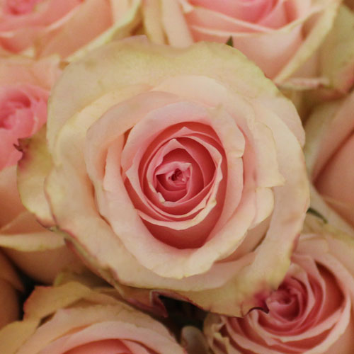 Antique Creamy Pink Girlfriend Rose
