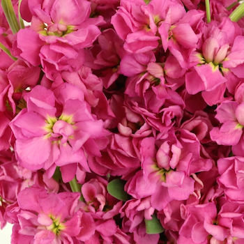 Stock Rose Pink Flower