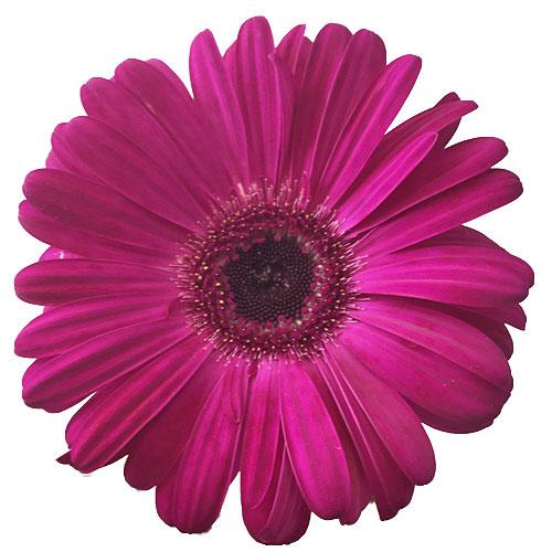 Roseberry Pink Gerbera Daisy