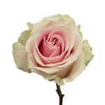 Cream Rose Vendela