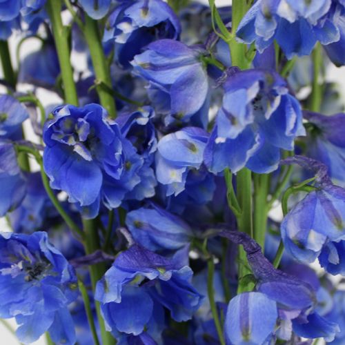 Dark Blue And White Flowers: Dark Blue Designer Delphinium Flower