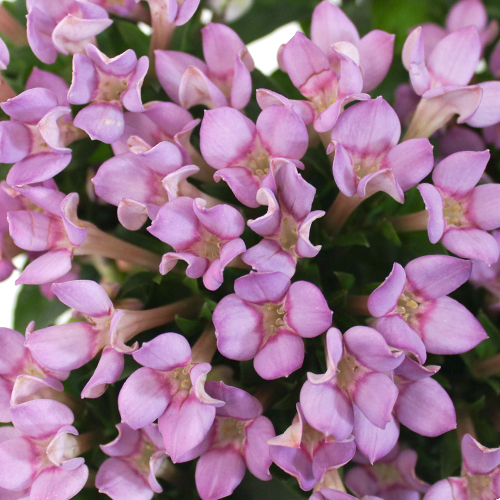 Bouvardia Lavender Flower