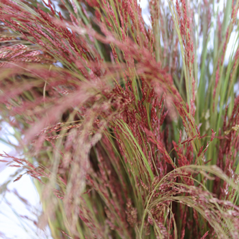 Ruby Silk Love Grass