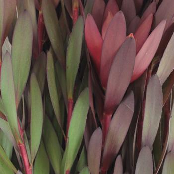 Safari Sunset Leucadendron