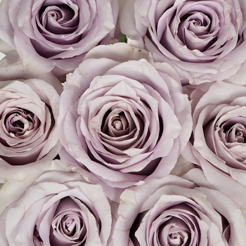 Whispers of Lavender Rose