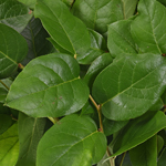 Wedding greenery salal lemon leaf