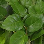 Wedding greenery salal lemon leaf filler flowers sold near me