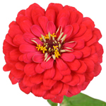 Wholesale Gerrondo Daisy Flower Orange