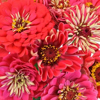 Shades of Coral Pink Zinnia
