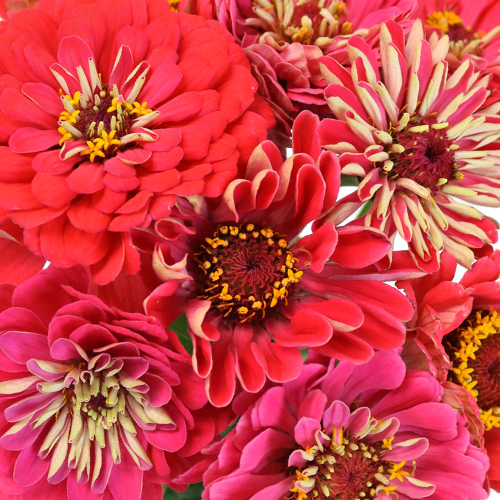 Shades of Coral Pink Zinnia