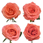 salmon pink roses for sale