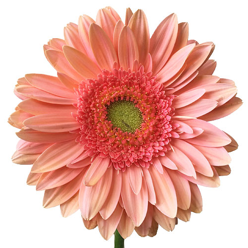 Salmon Essence Gerbera Daisy Flower