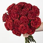 Samarcanda Red Garden Wholesale Roses In a hand