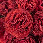 Samarcanda Garden Roses up close