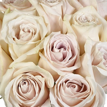 Blushing Beige Rose