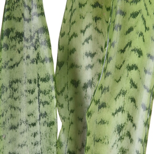 Sanseveria Tropical Greens