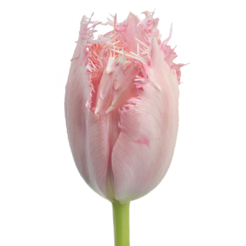 Rose Quartz Fringed Tulips
