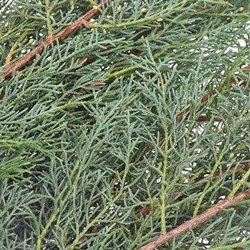 Carolina Sapphire Cypress Greenery