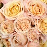 Sahara Spray Rose