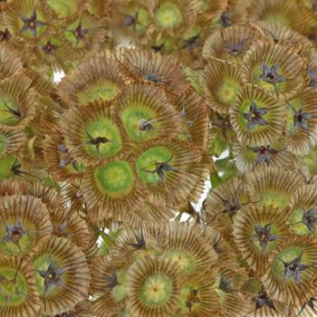 Scabiosa Pods Filler Flower