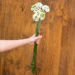 Buy White Scabiosa Flowers in Bulk