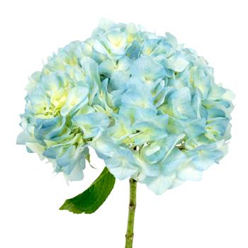 Baby Blue Hydrangea Flower