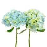 Baby Blue Fresh Hydrangea Flowers