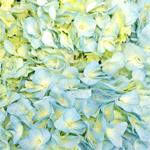 Baby Blue Hydrangea Flowers