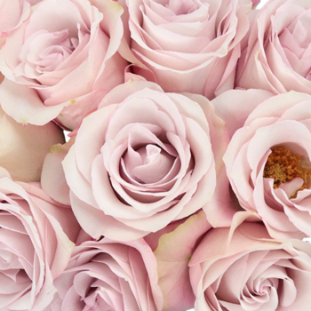 soft pink garden roses with light petals sold in bulk