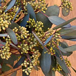 Seeded Eucalyptus Greenery