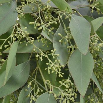 Seeded Eucalyptus Greenery