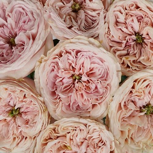 Senlitsu Blush Garden Rose